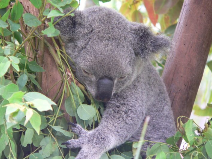 Who wouldn't want to cuddle up to this cute Koala?!