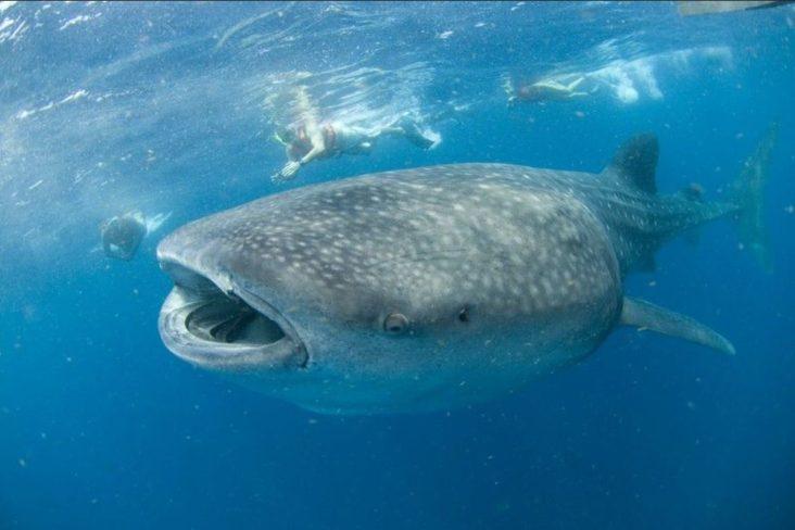 Плавать с китовыми акулами